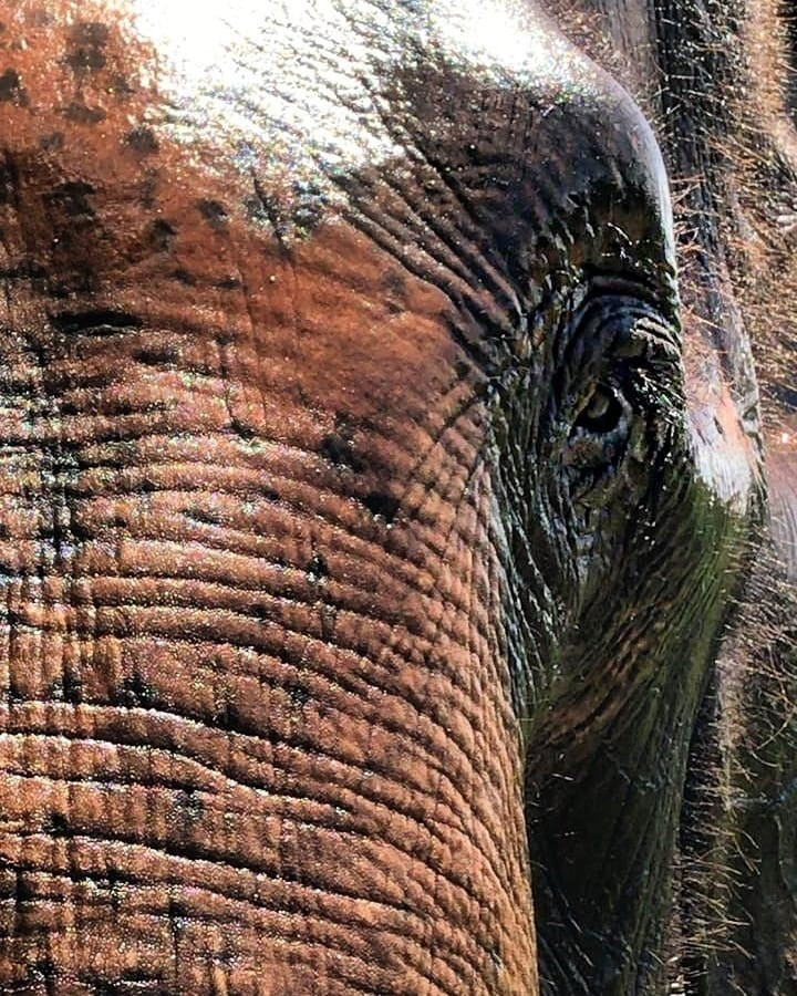 amarula elefantes