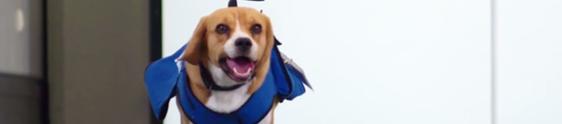 Empresa aérea usa beagle para devolver objetos perdidos