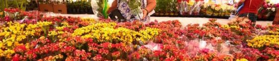 Festival das Flores de Holambra chega ao Recife